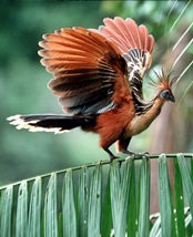 Guyana National Bird - Hoatzin Tour
